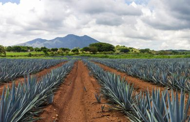 Agave plantation in Tequila, Jalisco